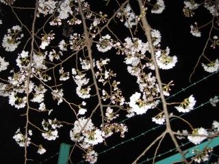 夜桜and鉄条網